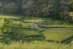 Theeaanplanting in Japan Royalty-vrije Stock Fotografie