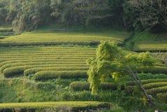 Theeaanplanting in Japan Royalty-vrije Stock Afbeelding