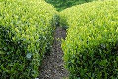 Theeaanplanting in Japan Stock Afbeelding