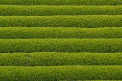 Theeaanplanting in Japan Stock Afbeeldingen