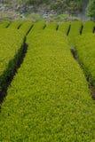 Theeaanplanting in Japan Stock Foto