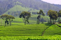Theeaanplanting in Java Stock Fotografie