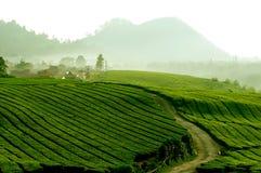 Theeaanplanting in Java, Indonesië Royalty-vrije Stock Foto's