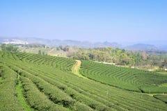 Theeaanplanting in Mae Chan, Chiang Rai, Thailand Mening van theepla Stock Fotografie