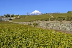 Theeaanplanting met Fuji-Bergachtergrond in Sunny Day, Shizuoka, Japan stock fotografie