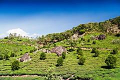Theeaanplanting in Munnar Royalty-vrije Stock Foto