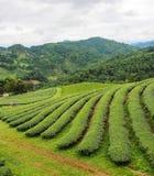 Theeaanplanting in noordelijk van Thailand Royalty-vrije Stock Afbeeldingen