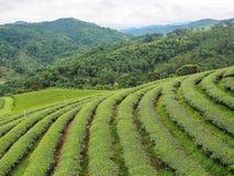 Theeaanplanting in noordelijk van Thailand Royalty-vrije Stock Foto