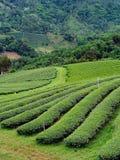 Theeaanplanting in noordelijk van Thailand Stock Foto's