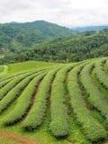 Theeaanplanting in noordelijk van Thailand Stock Afbeelding