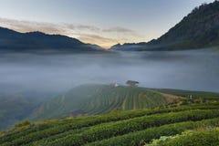 Theeaanplanting in ochtendmening, ANG-Khang Thailand Royalty-vrije Stock Afbeelding
