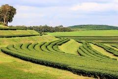Theeaanplanting op de heuvels Royalty-vrije Stock Fotografie