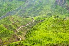 Theeaanplanting op terrasvormige heuvels in Maleisië 03 stock fotografie