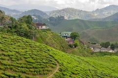 Theeaanplanting op terrasvormige heuvels in Maleisië 04 stock afbeelding