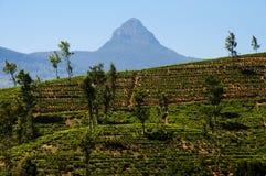 Theeaanplanting - Sri Lanka royalty-vrije stock foto