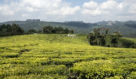 Theeaanplanting in Tanzania stock foto's