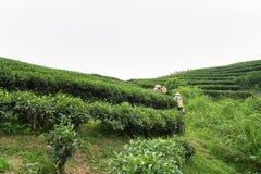 Theeaanplanting in Vietnam met Vietnamese vrouwen die theeblad op landbouwbedrijf plukken Stock Afbeelding