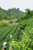 Theeaanplanting in Vietnam met Vietnamese vrouwen die theeblad op landbouwbedrijf plukken Royalty-vrije Stock Foto