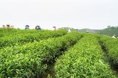 Theeaanplanting in Vietnam met Vietnamese vrouwen die theeblad op landbouwbedrijf plukken Stock Foto