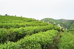Theeaanplanting in Vietnam met Vietnamese vrouwen die theeblad op landbouwbedrijf plukken Royalty-vrije Stock Fotografie