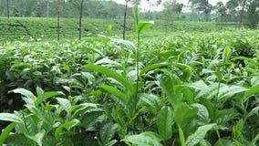 Theeaanplanting in Wonosobo Indonesië, Java stock video