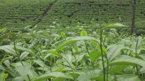 Theeaanplanting in Wonosobo Indonesië, Java stock videobeelden
