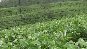 Theeaanplanting in Wonosobo Indonesië, Java stock footage