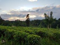 Theeaanplantingen bij zonsondergang royalty-vrije stock foto