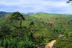 Theeaanplantingen dichtbij Nuwara Eliya, Shri Lanka Stock Foto