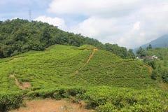 Theeaanplantingen in Puncak, Indonesië Royalty-vrije Stock Foto's