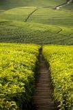 Theeaanplantingen in Rwanda stock afbeeldingen