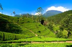 Theeaanplantingen in Sri Lanka stock fotografie