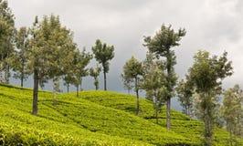 Theeaanplantingen, Sri Lanka Stock Afbeeldingen