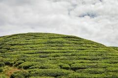 Theebomen bij de aanplantingen in Cameron Highlands, Maleisië Stock Foto
