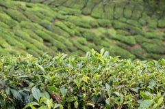 Theebomen en bladeren bij de aanplantingen in Cameron Highlands, Maleisië Royalty-vrije Stock Afbeeldingen