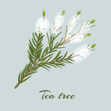 Theeboom of Melaleuca-alternifolia tot bloei komend takje royalty-vrije illustratie