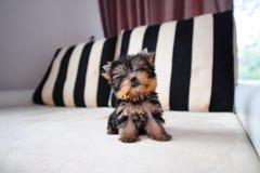 Theekopje Yorkshire Terrier stock foto