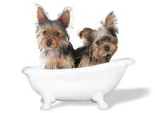 Theekopje Yorkshire Terriers bij het Witte Baden Royalty-vrije Stock Afbeelding