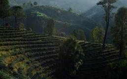Theelandbouwbedrijf op de heuvels Stock Afbeelding