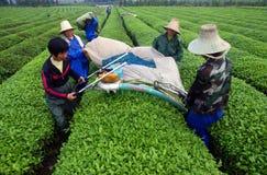 Theelandbouwers die theebladen plukken stock afbeeldingen