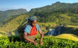 Theeplukker bij een aanplanting in Sri Lanka royalty-vrije stock afbeeldingen