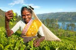 Theeplukker bij een aanplanting in Sri Lanka stock afbeeldingen