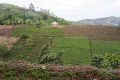 Theeterras, Rwanda, Afrika stock afbeeldingen