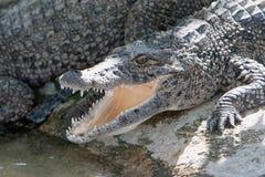 theeth крокодила Стоковое Изображение RF
