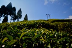 Theetuin Darjeeling stock afbeeldingen