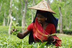 Theetuin in Sylhet, Bangladesh royalty-vrije stock afbeelding
