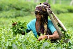 Theetuin in Sylhet, Bangladesh royalty-vrije stock afbeeldingen