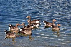 A group of geese of Toulouse in the waters of an Italian alpine lake Stock Image
