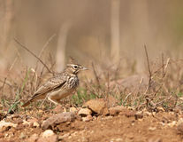The Thekla Lark in it´s habitat Royalty Free Stock Photography