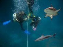 Theline. Blacktip Reef Shark (Carcharhinus melanopterus) swimming over divers on gass off line stock photography